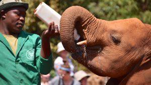 Elefantunge bliver fodret