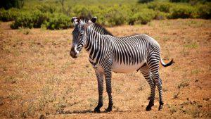 Grevy zebra i Samburu