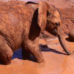 Elefant leger med bold, Sheldricks, Nairobi