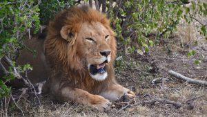 Hanløve i Masai Mara