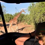 Netgiraf krydser vejen i Samburu
