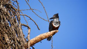 Giant kingfisher (isfugl) ved Lake Naivasha