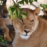 Hunløve, Masai Mara