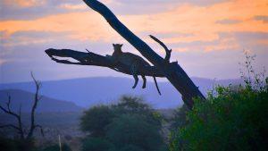 Leopard i solnedgangen, Samburu