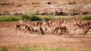 En flok impala i den udtørrede flod, Samburu