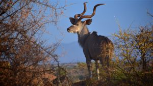 Kudu, Samburu
