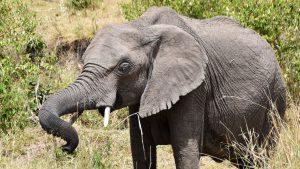 Elefant, Masai Mara