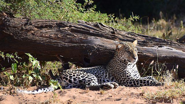 En leopard nyder solen i Samburu National Reserve