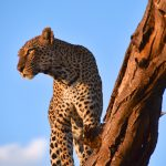 Leopard, Samburu