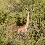 Gerenuk, Samburu