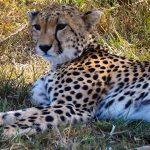 Gepard i Masai Mara