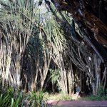 "Ufatteligt store ""kaktusser"" på Sopa Resort, Naivasha"