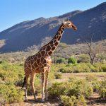 Netgiraf, Samburu