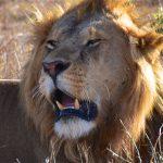 Hanløve, Masai Mara