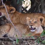 Løveunger, Masai Mara