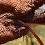 Elefant drikker fra vandslangen, Sheldricks, Nairobi