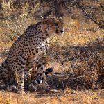 Gepard, Samburu