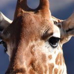 Giraf - nærbillede, Samburu
