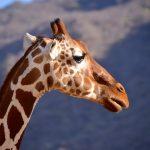 Giraf, Samburu